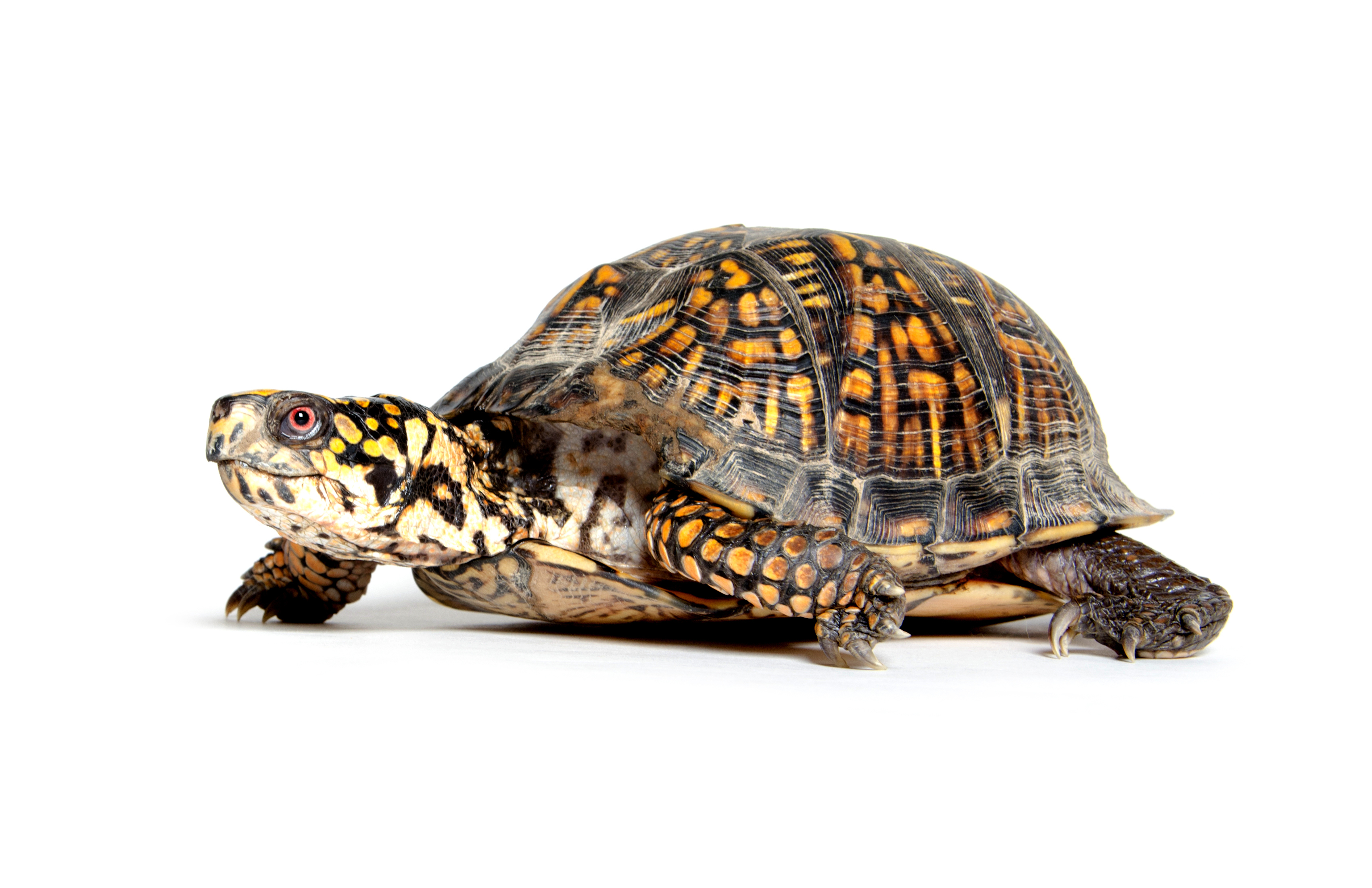 Box turtle on white